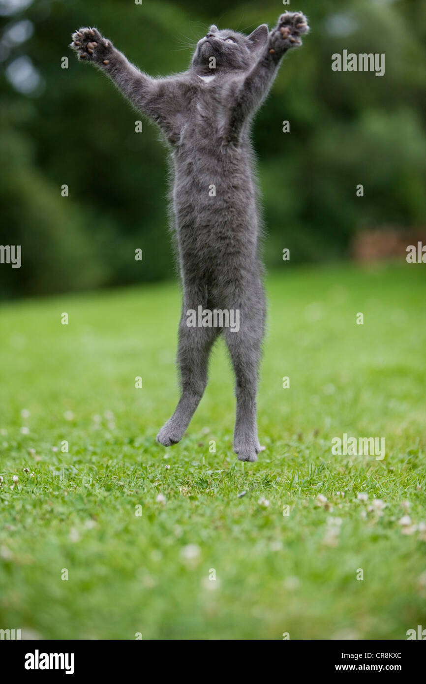 Grey cat jumping in mid air - Stock Image