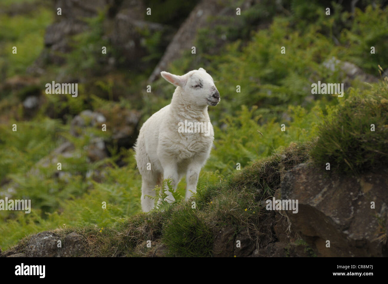 Lamb standing on the edge of a bank. - Stock Image