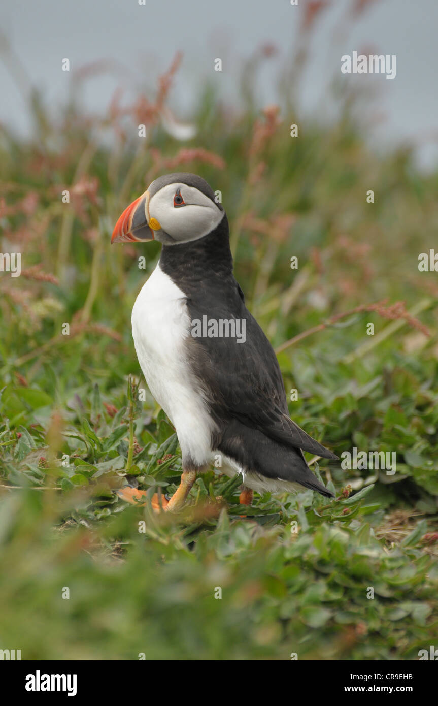 Puffin, Fratercula arctica, on the island of Lunga. - Stock Image