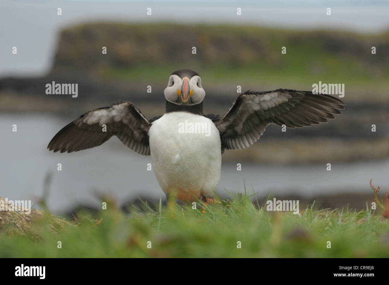 Puffin, Fratercula arctica, with wings spread. - Stock Image