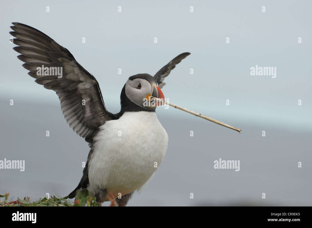 Puffin, Fratercula arctica, with wings spread and twig in its mouth. - Stock Image