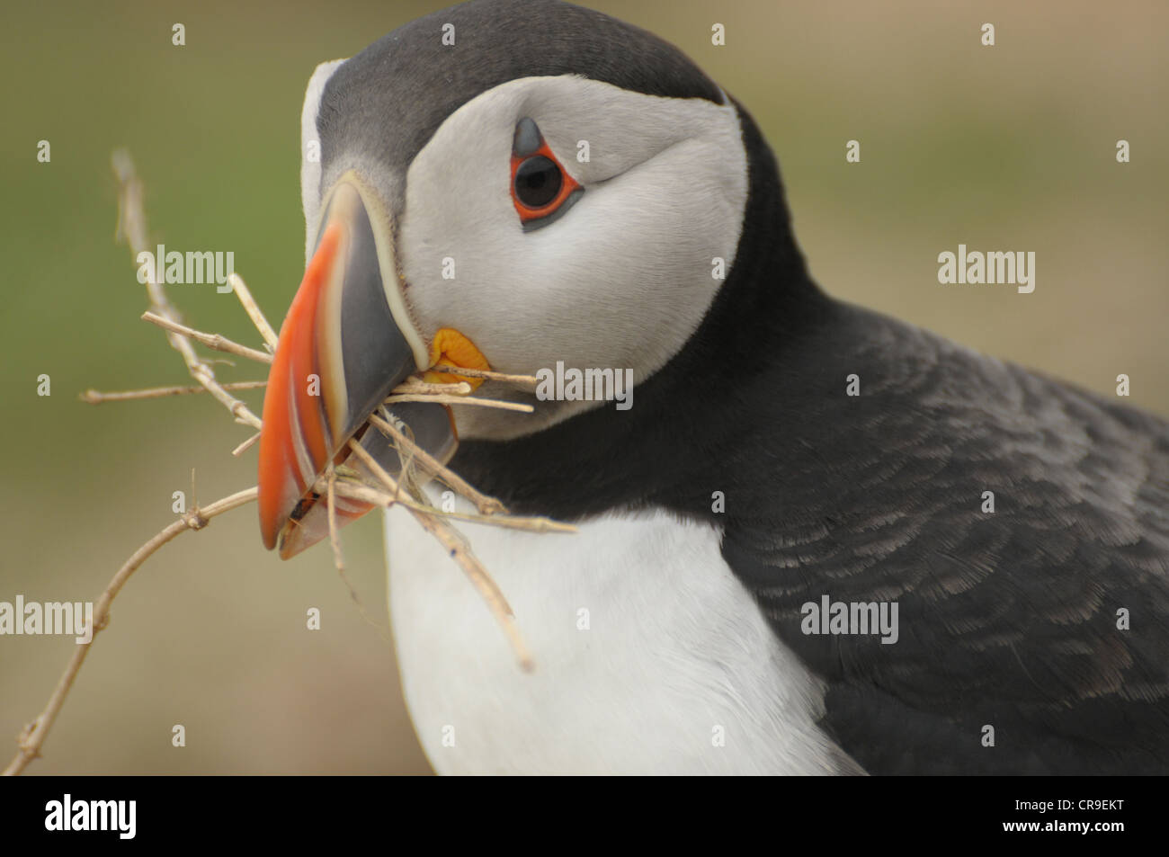 Puffin, Fratercula arctica, with dead grass in beak. - Stock Image