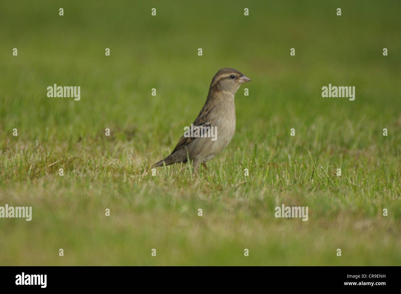 Female House Sparrow, (Passeridae) on grass, Scotland. - Stock Image