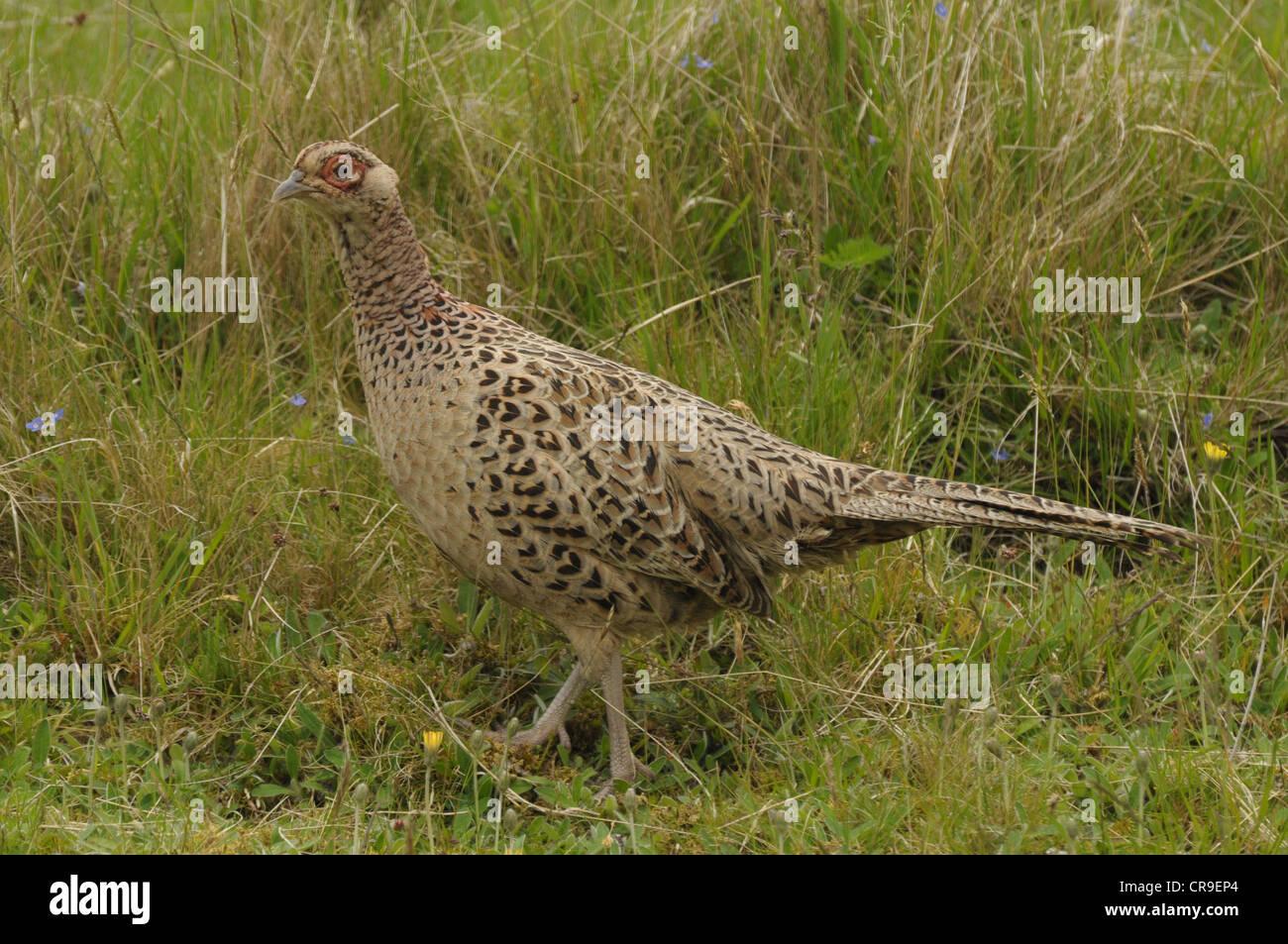 Female pheasant, Phasianus colchicus, Scotland. - Stock Image