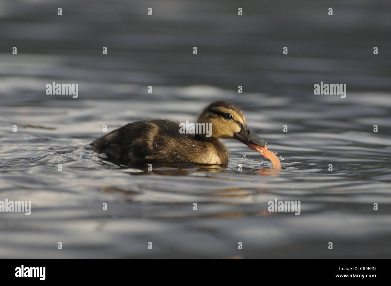 Mallard duckling eating tomato in water, Scotland. - Stock Image