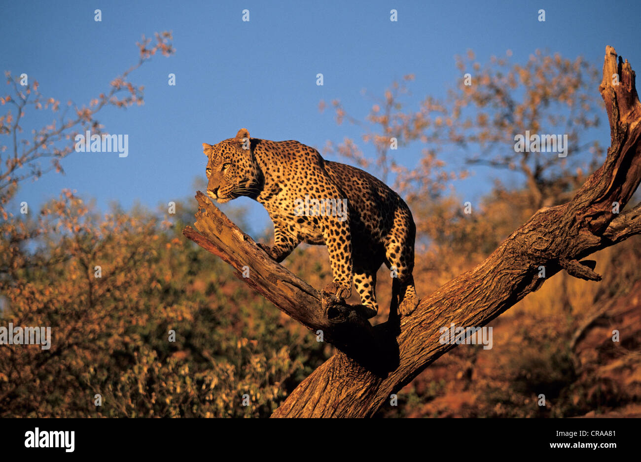 Leopard (Panthera pardus), Okonjima, Namibia, Africa - Stock Image