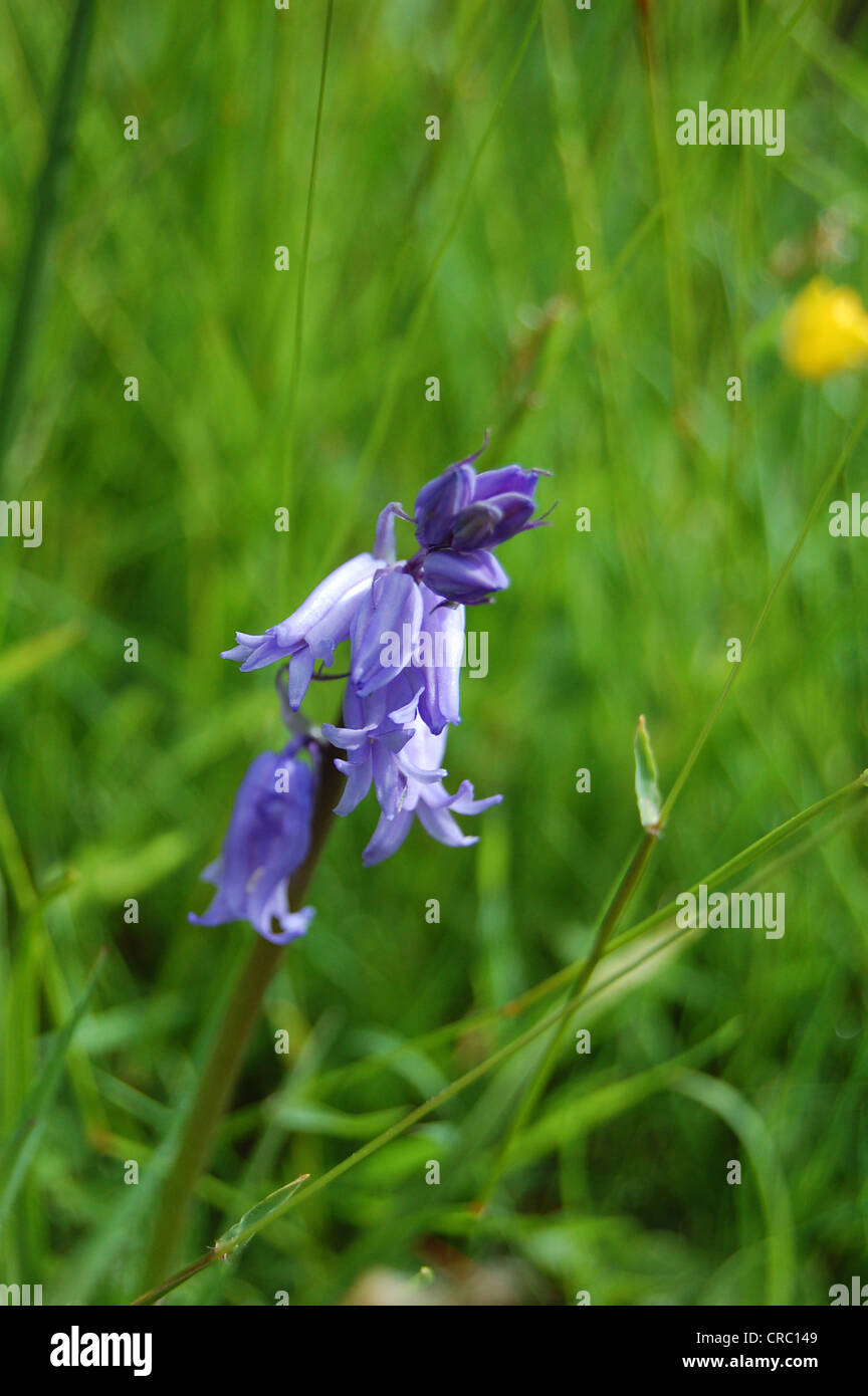 Bluebell, Hyacinthoides non-scripta, with grass background, Scotland. - Stock Image
