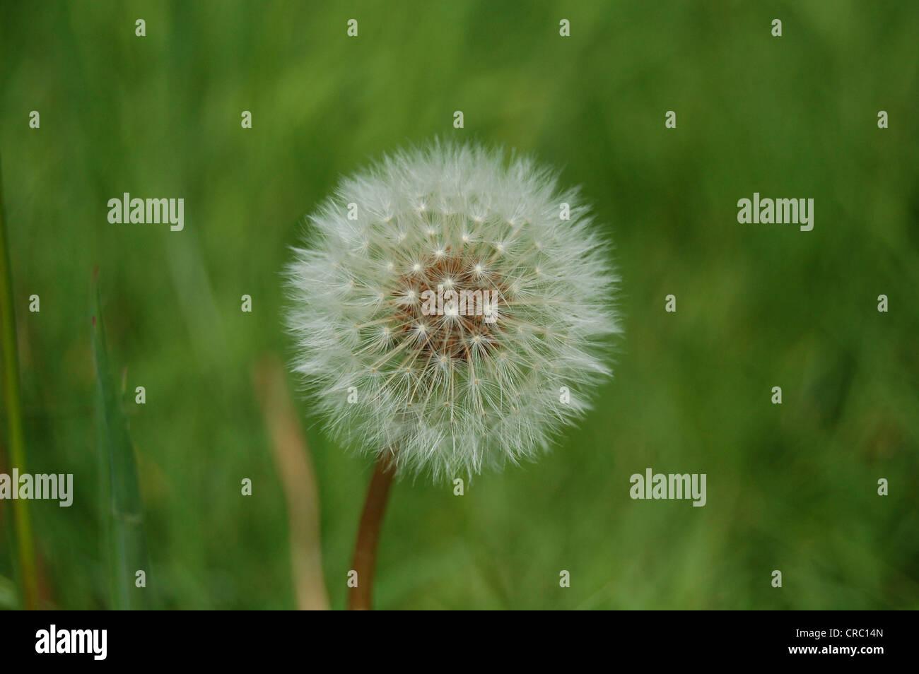 Dandelion, Taraxacum with grass background, Scotland. - Stock Image