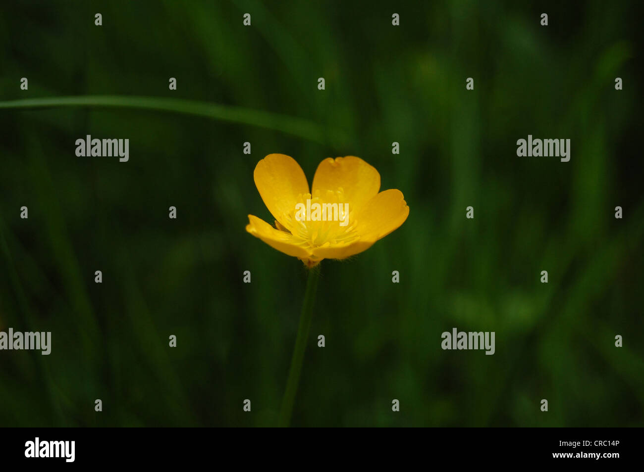 Buttercup, Ranunculus, with grass background, Scotland. - Stock Image