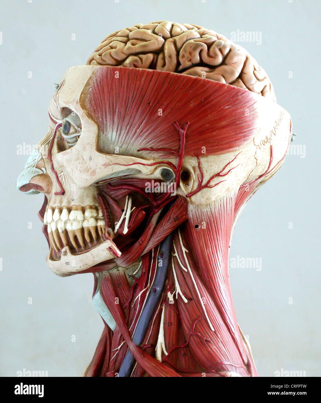 Academic Anatomy Brain Central Nervous System Stock Photo: 48905049 ...