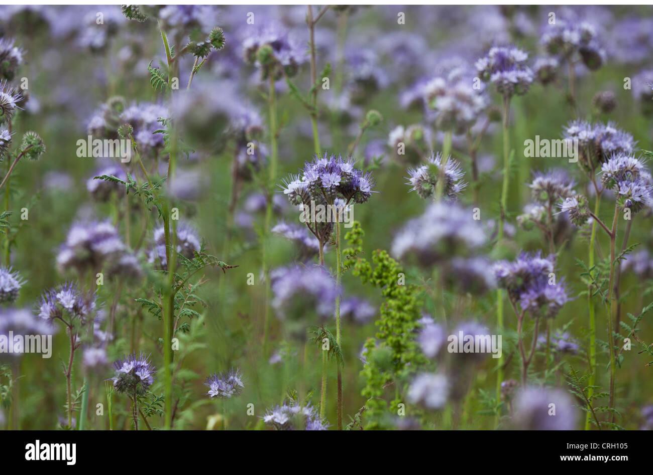 Phacelia tanacetifolia scorpion weed abundant purple flower stock phacelia tanacetifolia scorpion weed abundant purple flower clusters on long green stems mightylinksfo