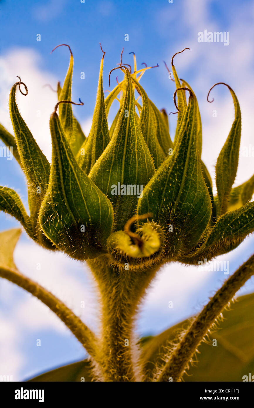 Helianthus annuus 'Russian Giant', Sunflower - Stock Image