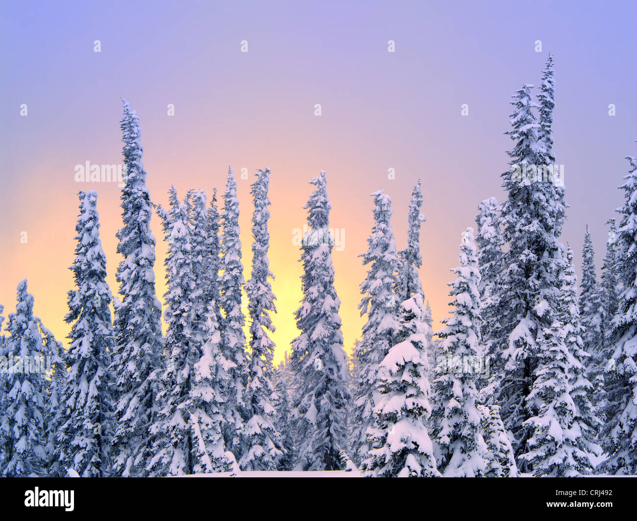 Snow on trees with sunset color. Mt. Rainier National Park, Washington - Stock Image