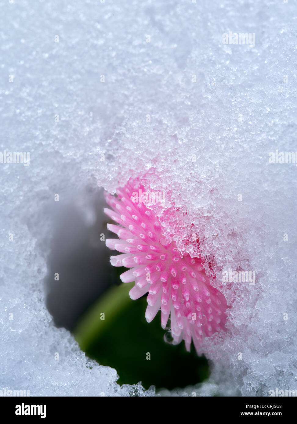 Close up of English Daisy with snow. Oregon - Stock Image