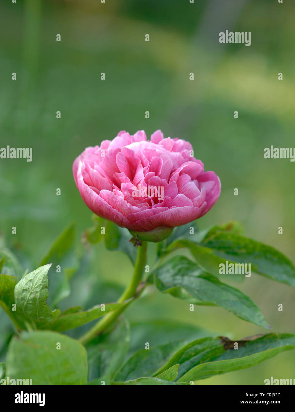 Pink Peony in May - Stock Image