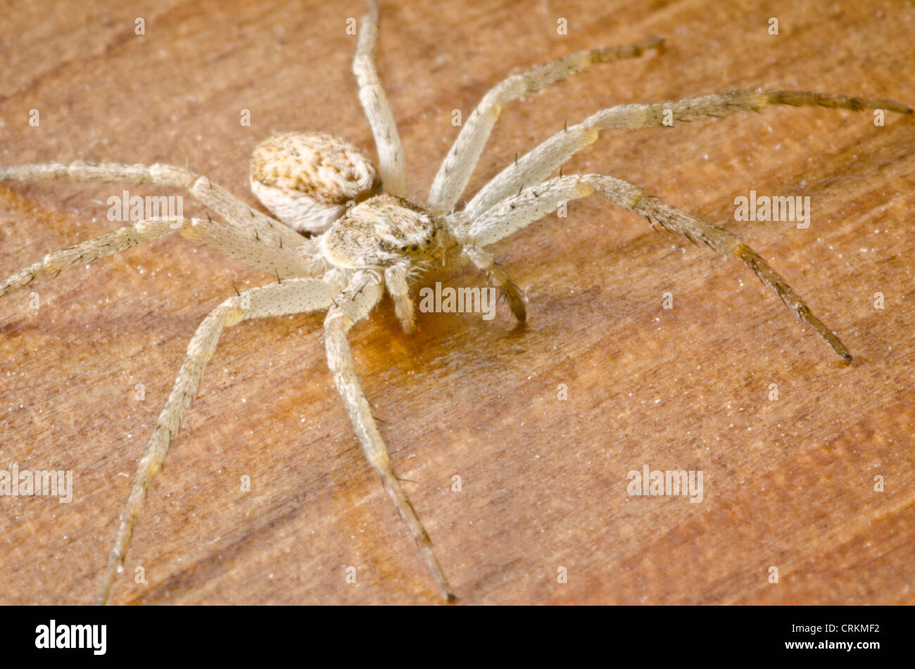 Anyphaena accentuata Buzzing Spider on a wooden floor in a UK house - Stock Image