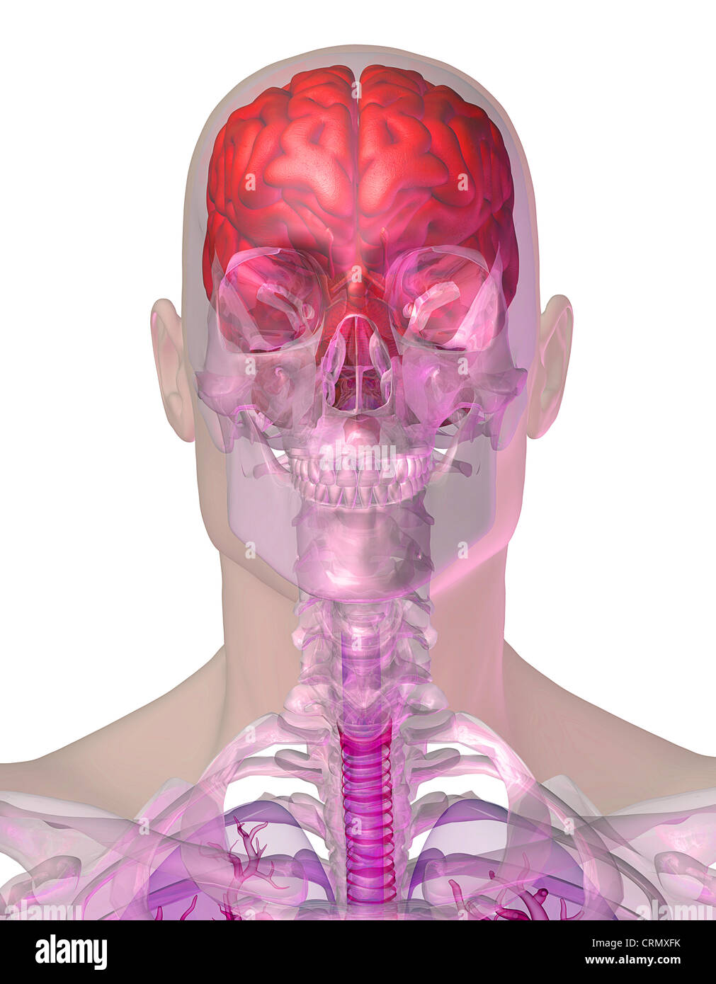Human head anatomy showing the brain and skull Stock Photo: 49017687 ...