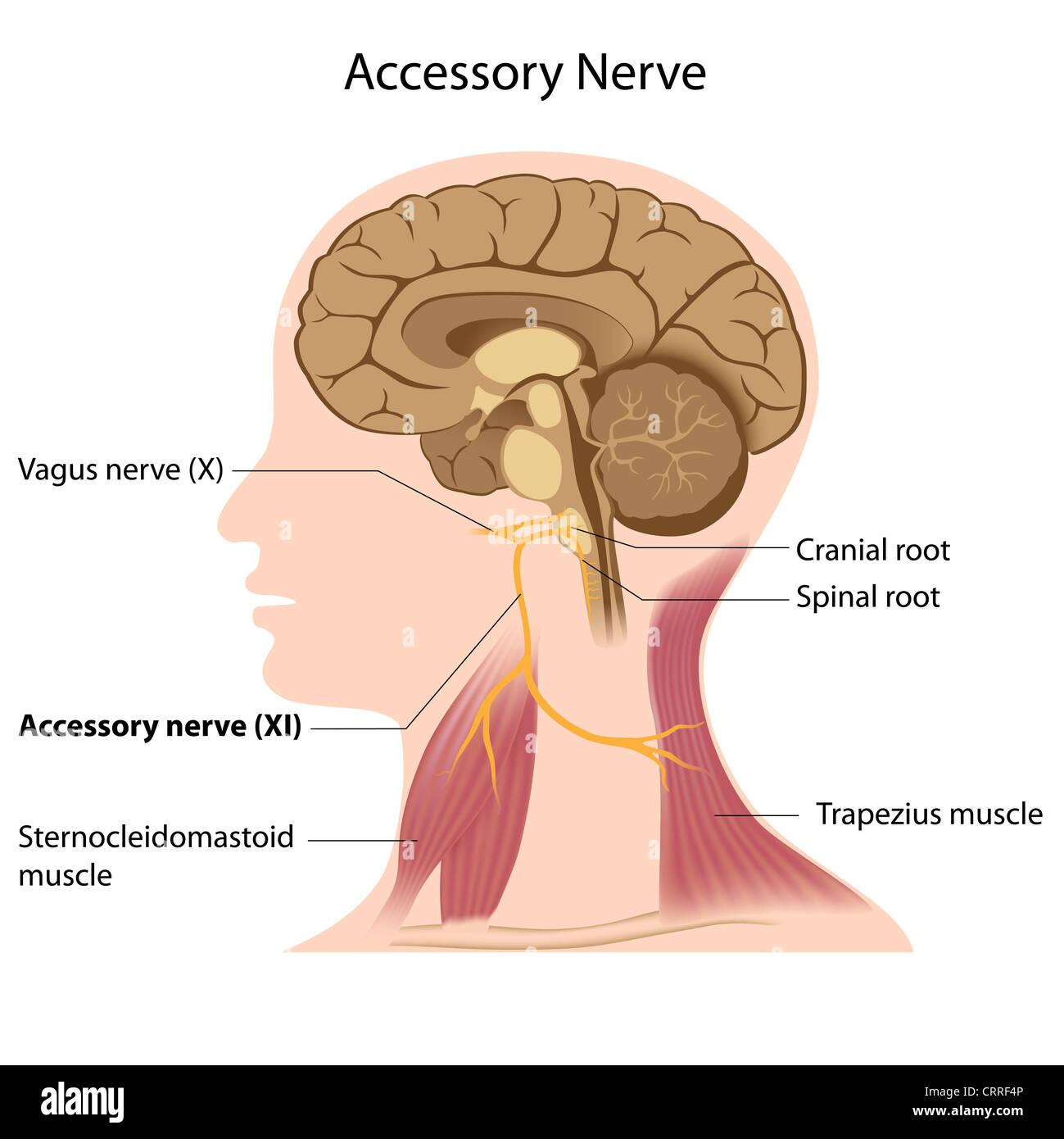 Accessory nerve anatomy Stock Photo: 49074614 - Alamy