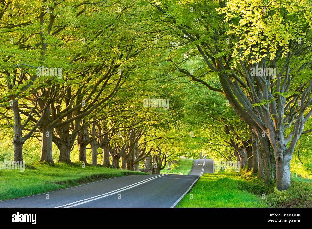 Beech tree lined road in springtime, Nr Wimborne, Dorset, England. Spring (May) 2012. - Stock Image