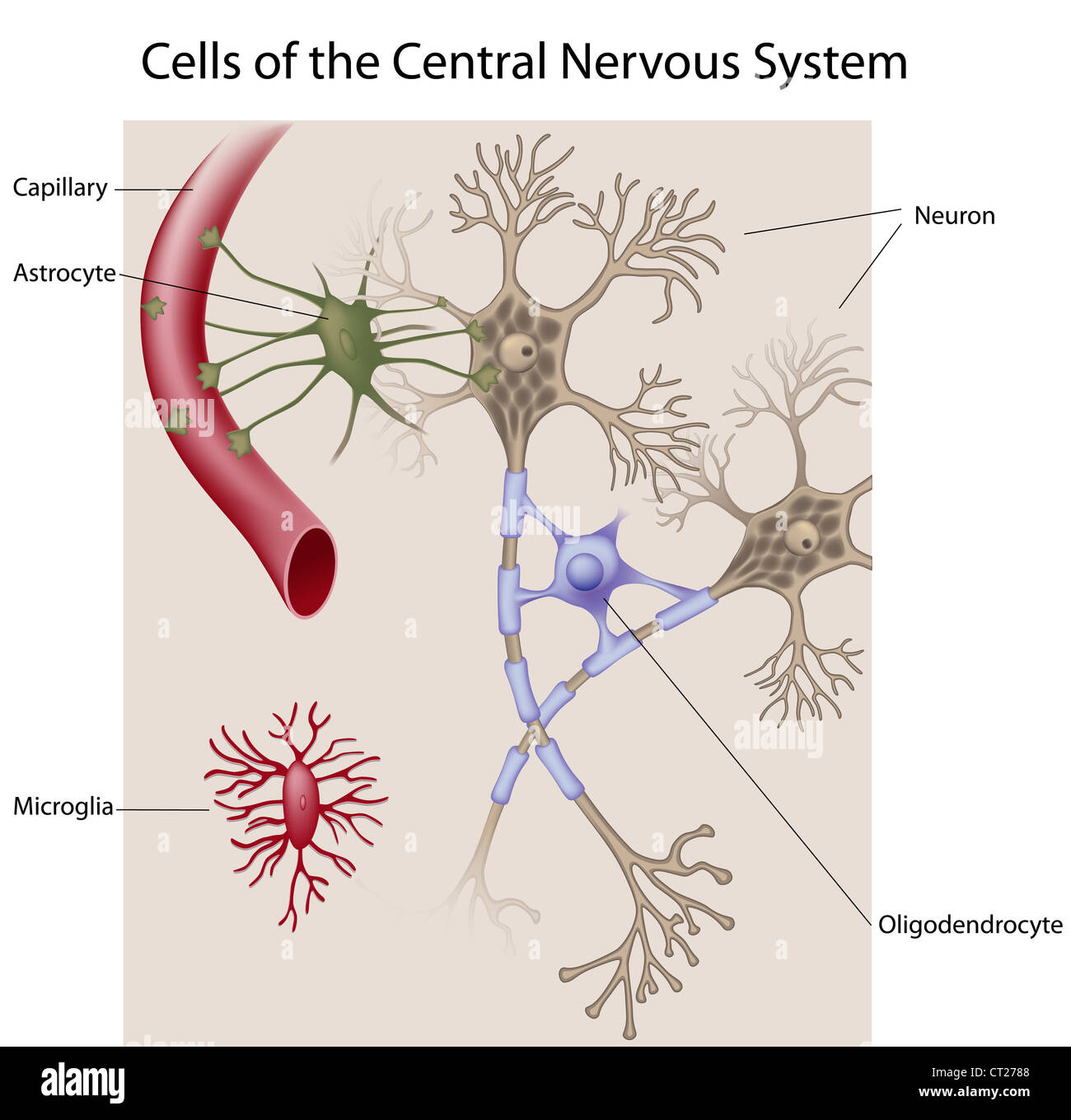 Cells Of The Central Nervous System Stock Photo 49222104 Alamy