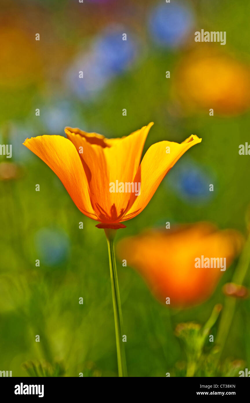 Californian poppy - Stock Image