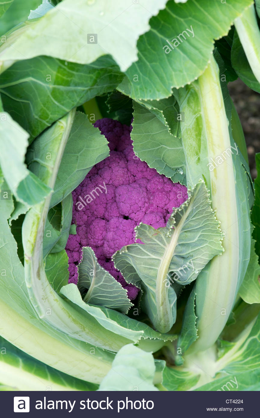 Brassica oleracea. Cauliflower graffiti - Stock Image