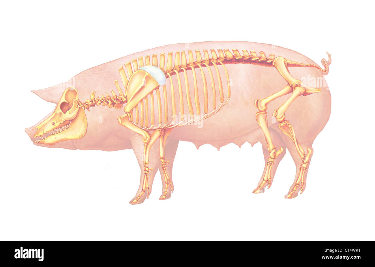 PIG ANATOMY, DRAWING Stock Photo: 49280533 - Alamy