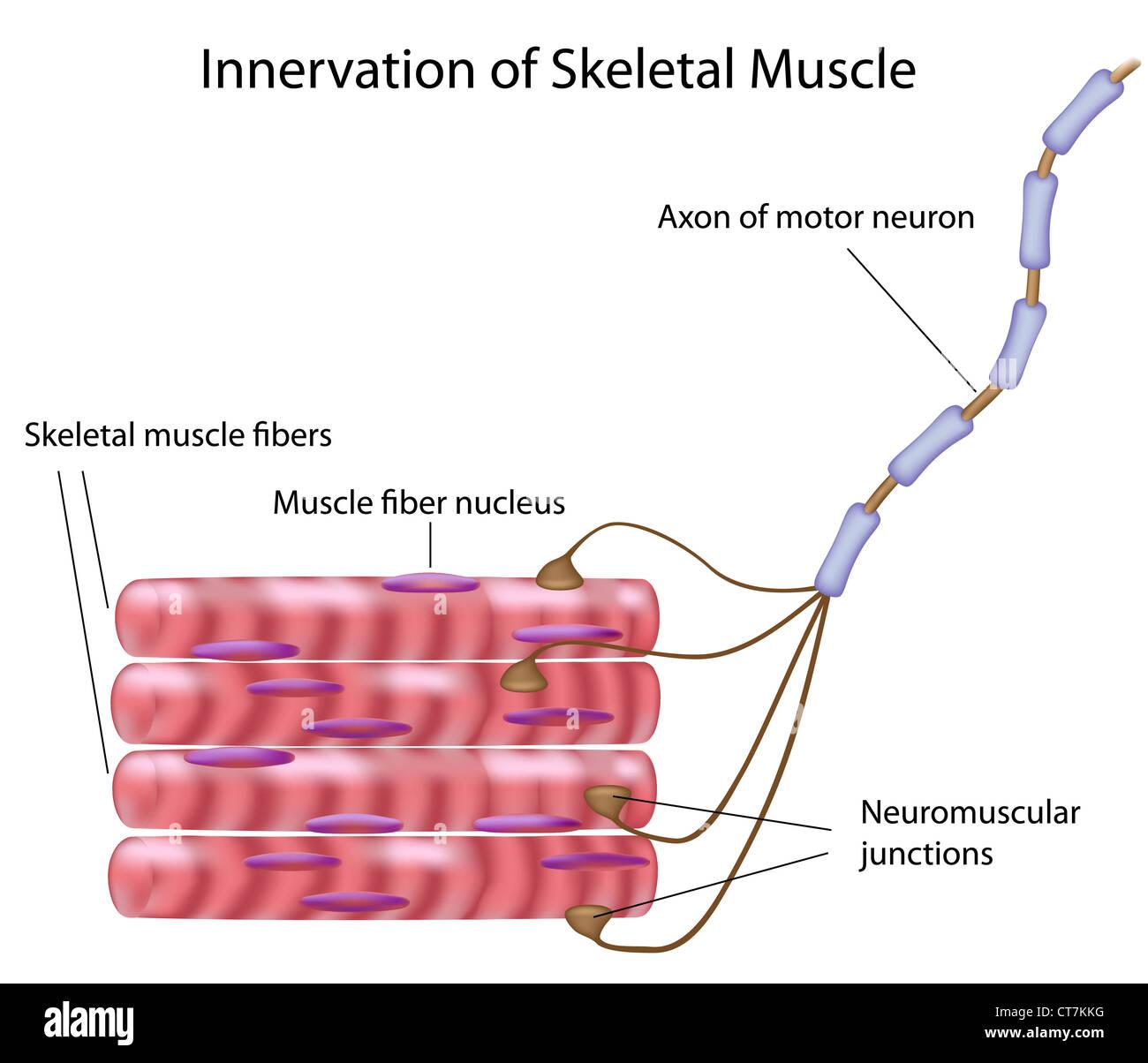 Skeletal muscle innervation Stock Photo
