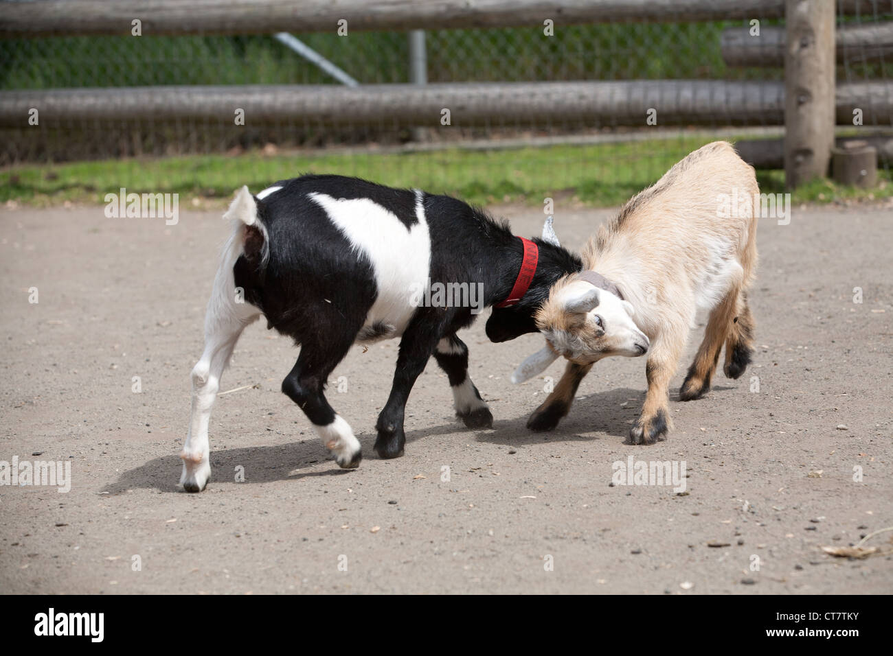 Two Baby Goats Butting Heads