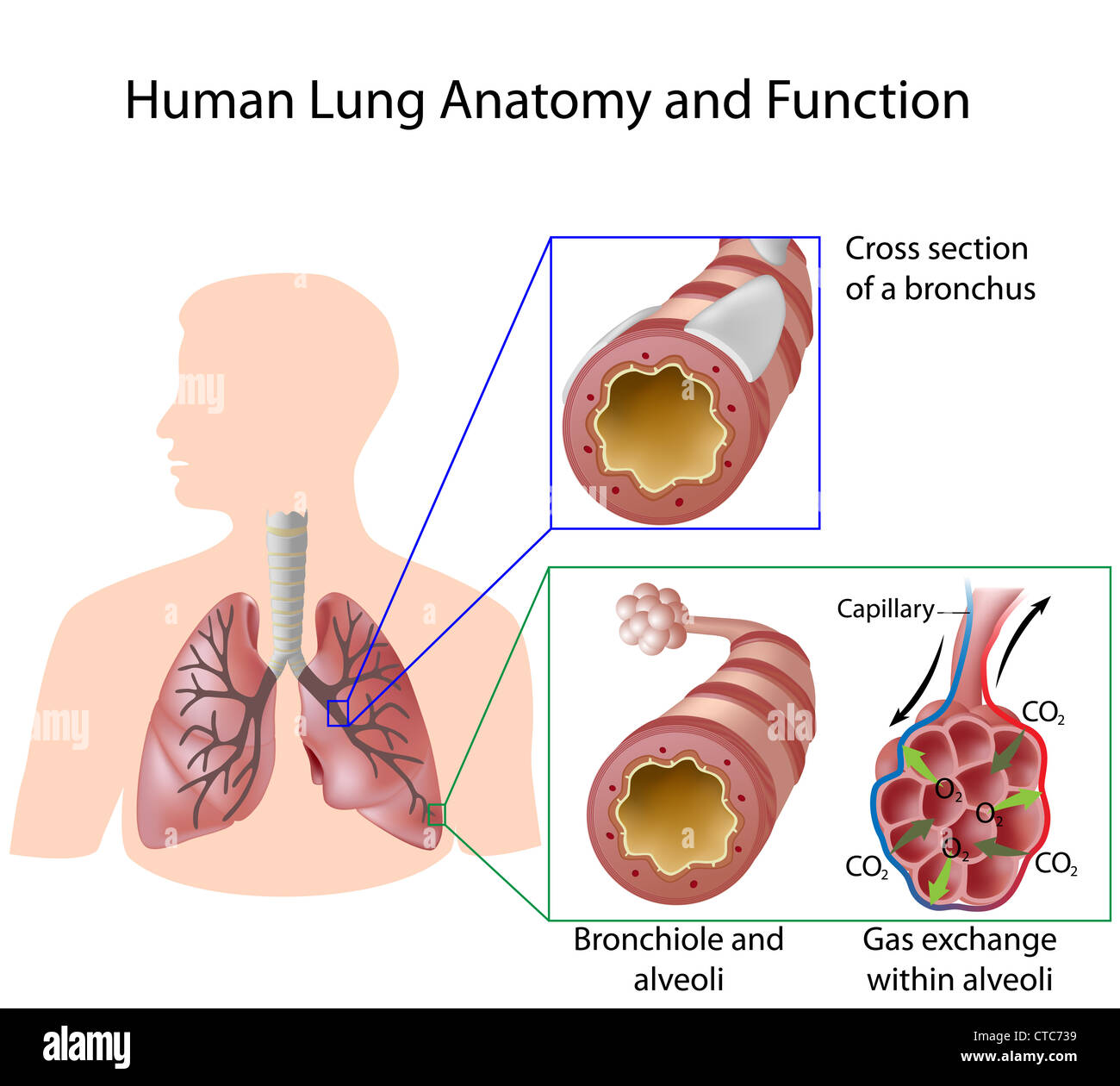 Human Lung Anatomy And Function Stock Photo 49441485 Alamy