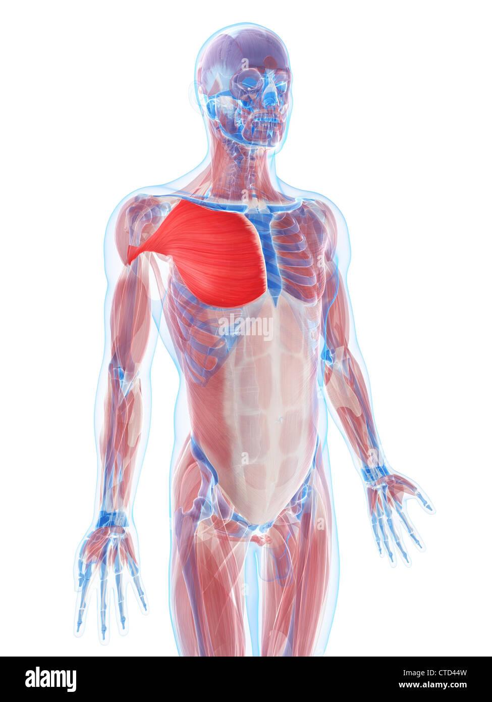 Pectoralis major muscle artwork Stock Photo: 49461129 - Alamy