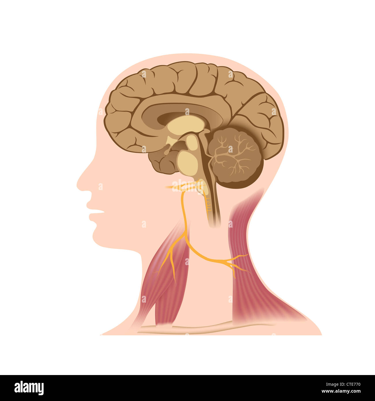 Accessory and vagus nerve Stock Photo: 49485492 - Alamy