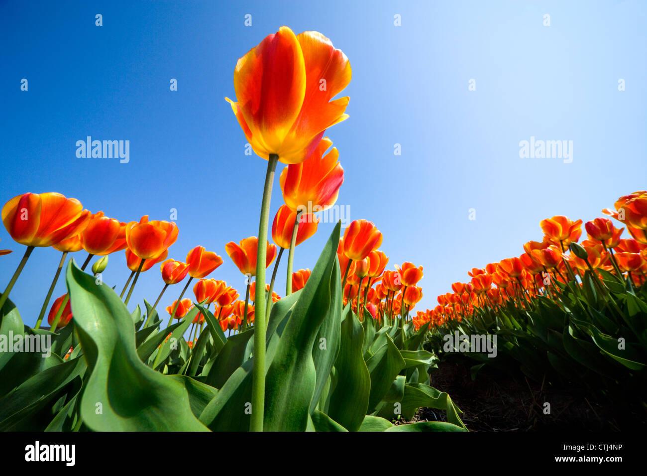 https://c7.alamy.com/comp/CTJ4NP/holland-tulips-netherlands-tulips-dutch-tulips-rows-of-vibrant-orange-CTJ4NP.jpg