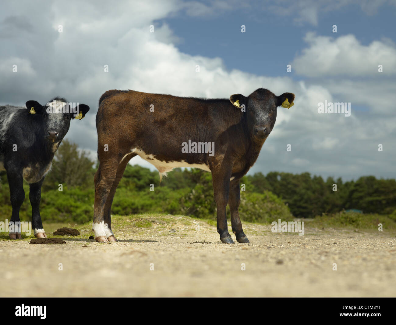 free roaming cattle in The New Forest, Hampshire, England - Stock Image