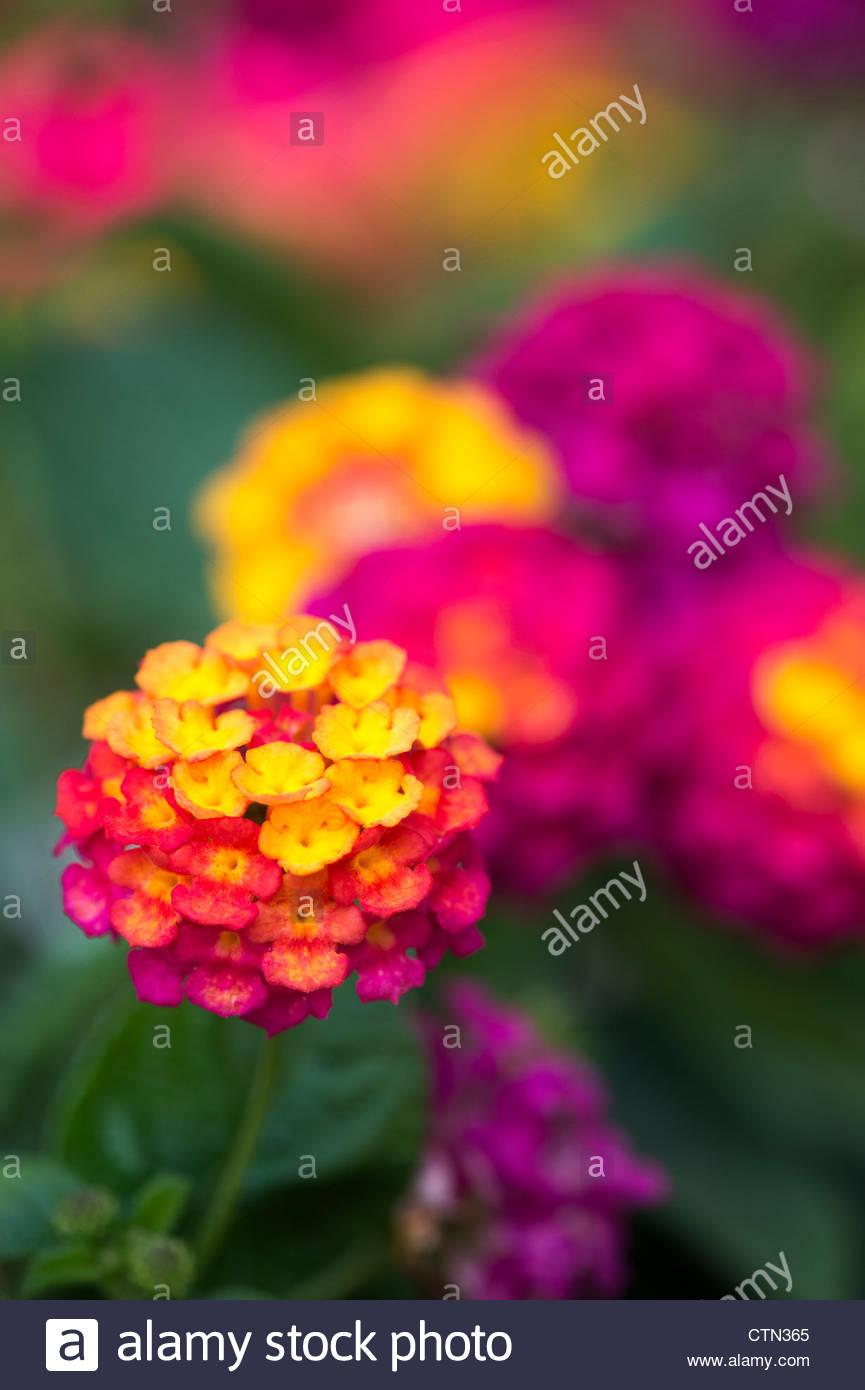 Lantana camara 'lucky sunrise' rose flowers - Stock Image