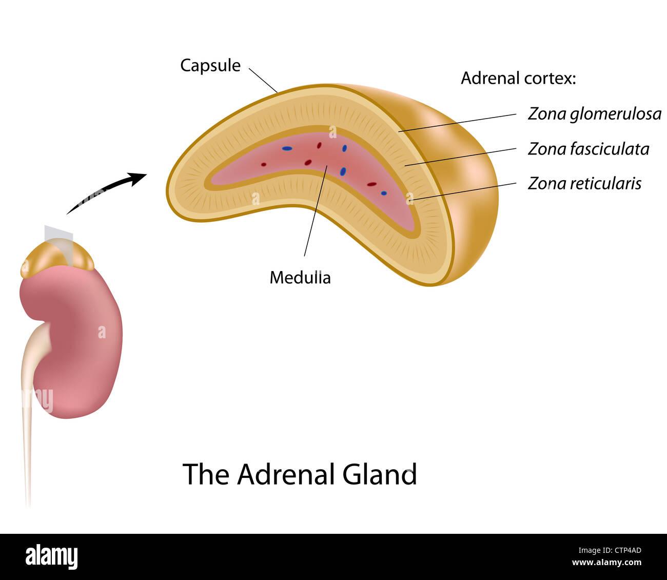 The Adrenal Gland Stock Photo 49658853 Alamy