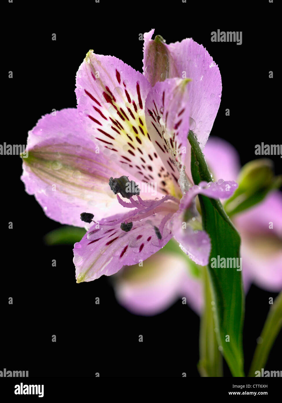 Alstroemeria cultivar alstroemeria peruvian lily purple black alstroemeria cultivar alstroemeria peruvian lily purple black izmirmasajfo Gallery