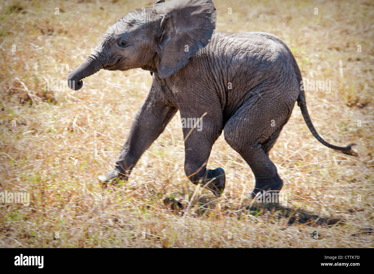 Solitary African Elephant Calf, Loxodonta africana, Masai Mara National Reserve, Kenya, Africa - Stock Image