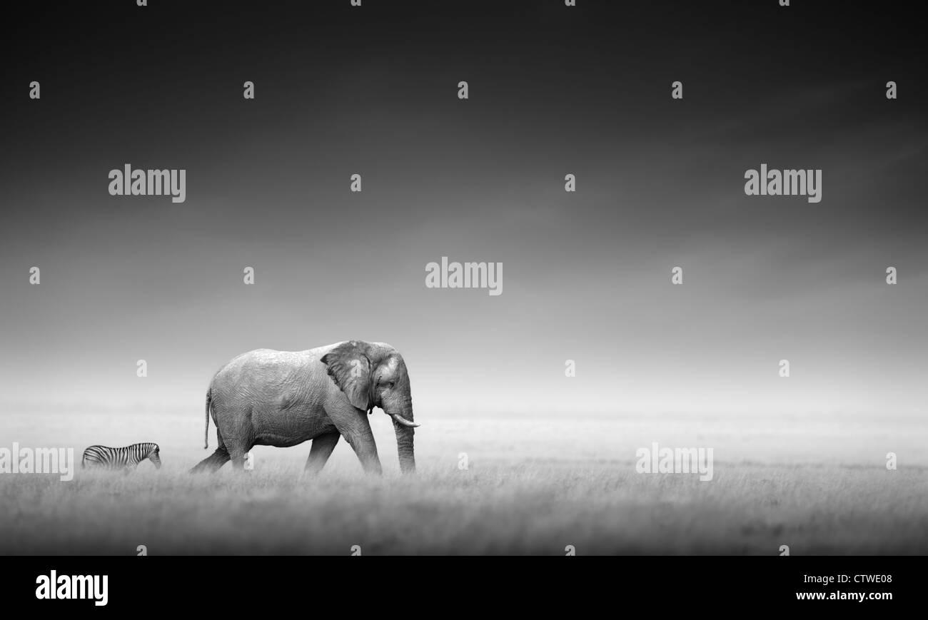 Elephant with zebra behind on open plains of Etosha - Namibia (Artistic processing) - Stock Image