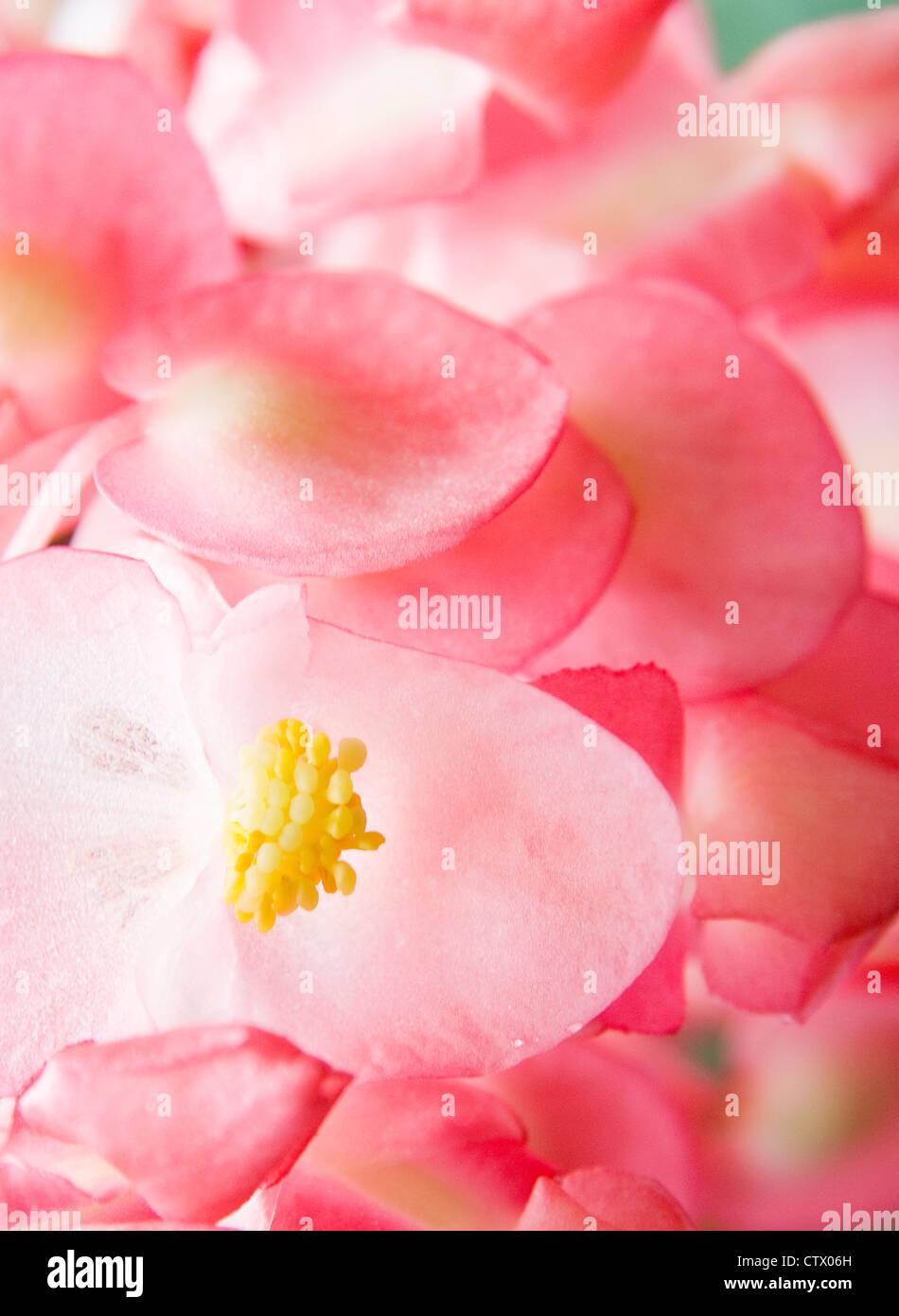 Tropical Pink Flowers Maui Hawaii Stock Photo 49743417 Alamy