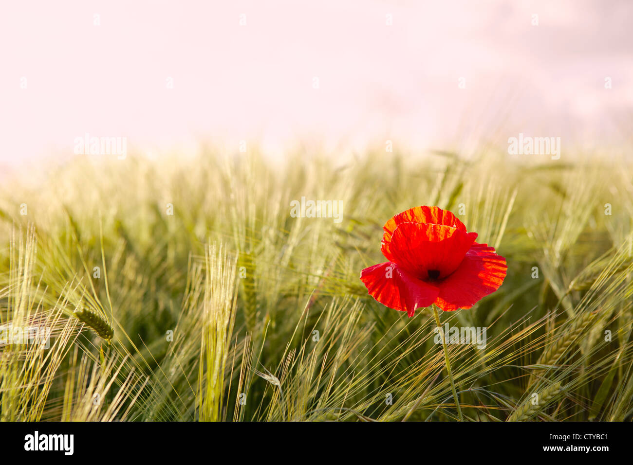 Poppies in Barley Field - Stock Image