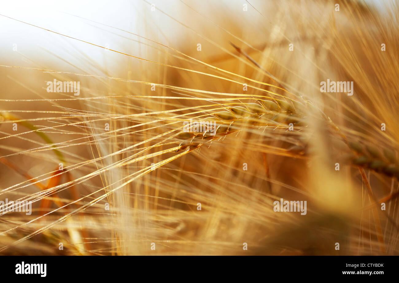 Ears of Barley - Stock Image