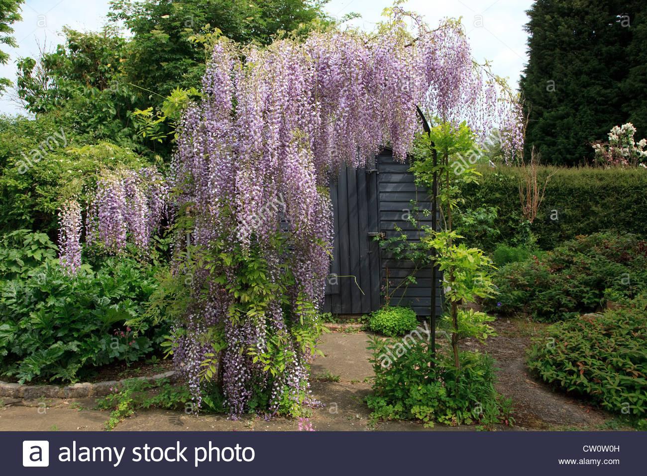 japanese-wisteria-CW0W0H.jpg