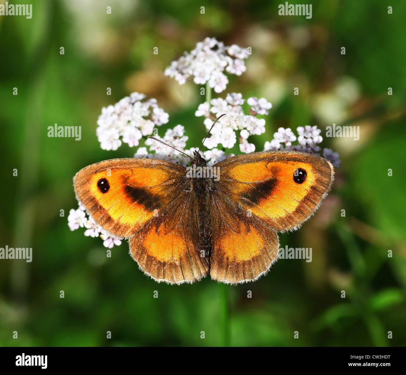 gatekeeper-butterfly-butterflies-pyronia