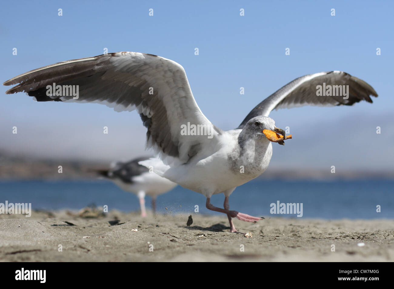 A seagull eating a Dorito on the beach at Bodega Bay. Stock Photo