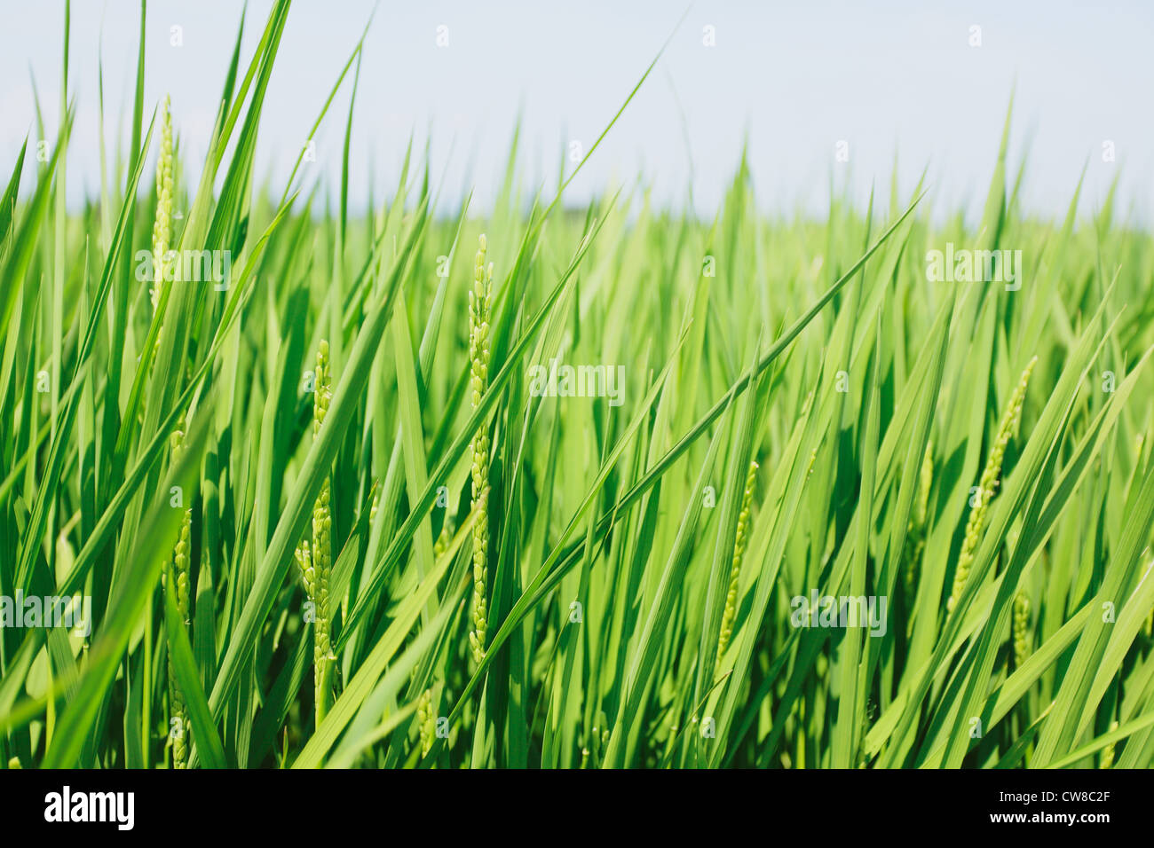 Crops In Field - Stock Image