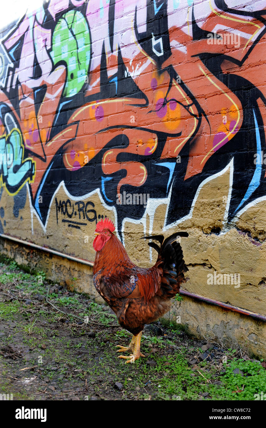 Rhode Island Red rooster with graffiti - Stock Image