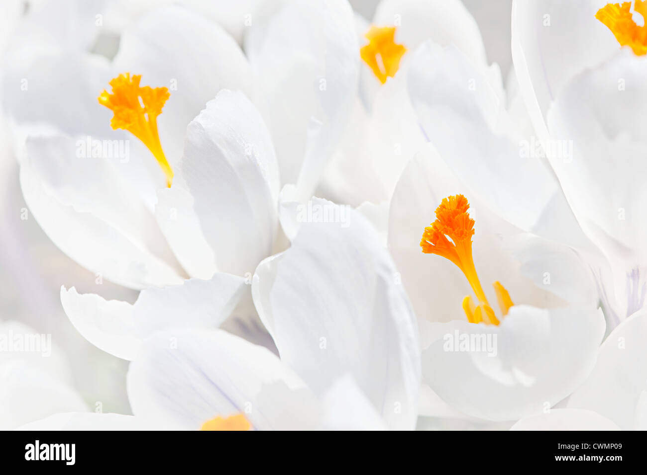 Closeup of beautiful white crocus flowers blossoming - Stock Image