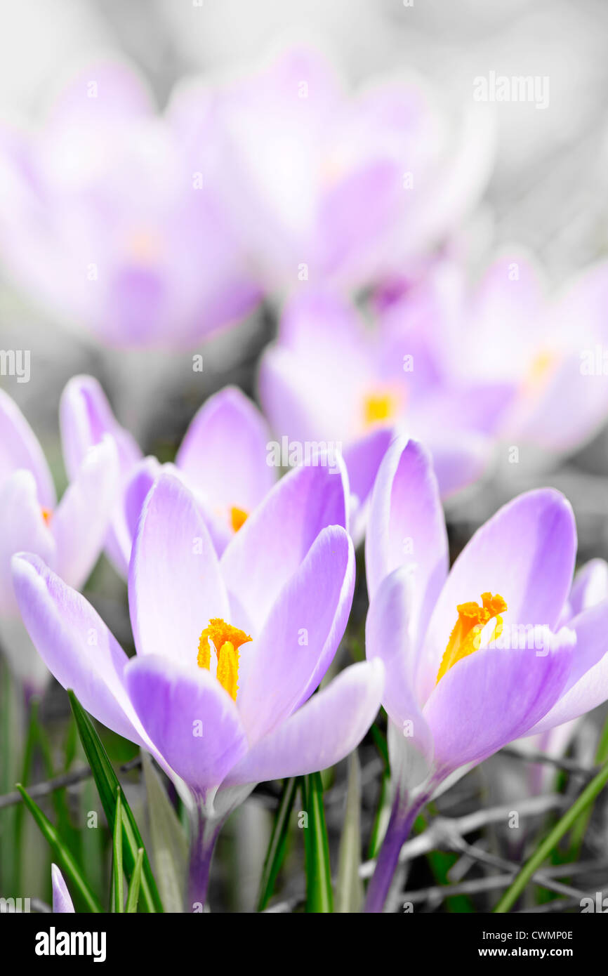 Closeup of beautiful purple crocus flowers blossoming - Stock Image