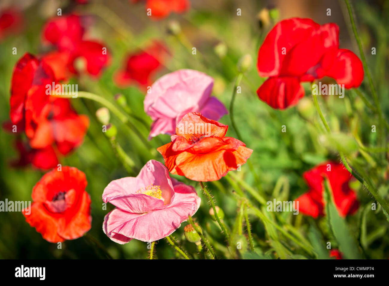 Red and pink poppies in summer garden - Stock Image